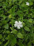 Vinca minor f. alba Gertrude Jekyll 1L Pot